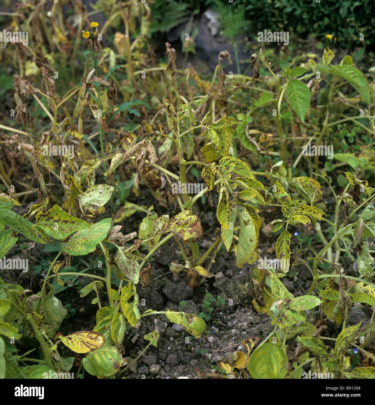 Severe manganese Mn deficiency on potato plants - Stock Image