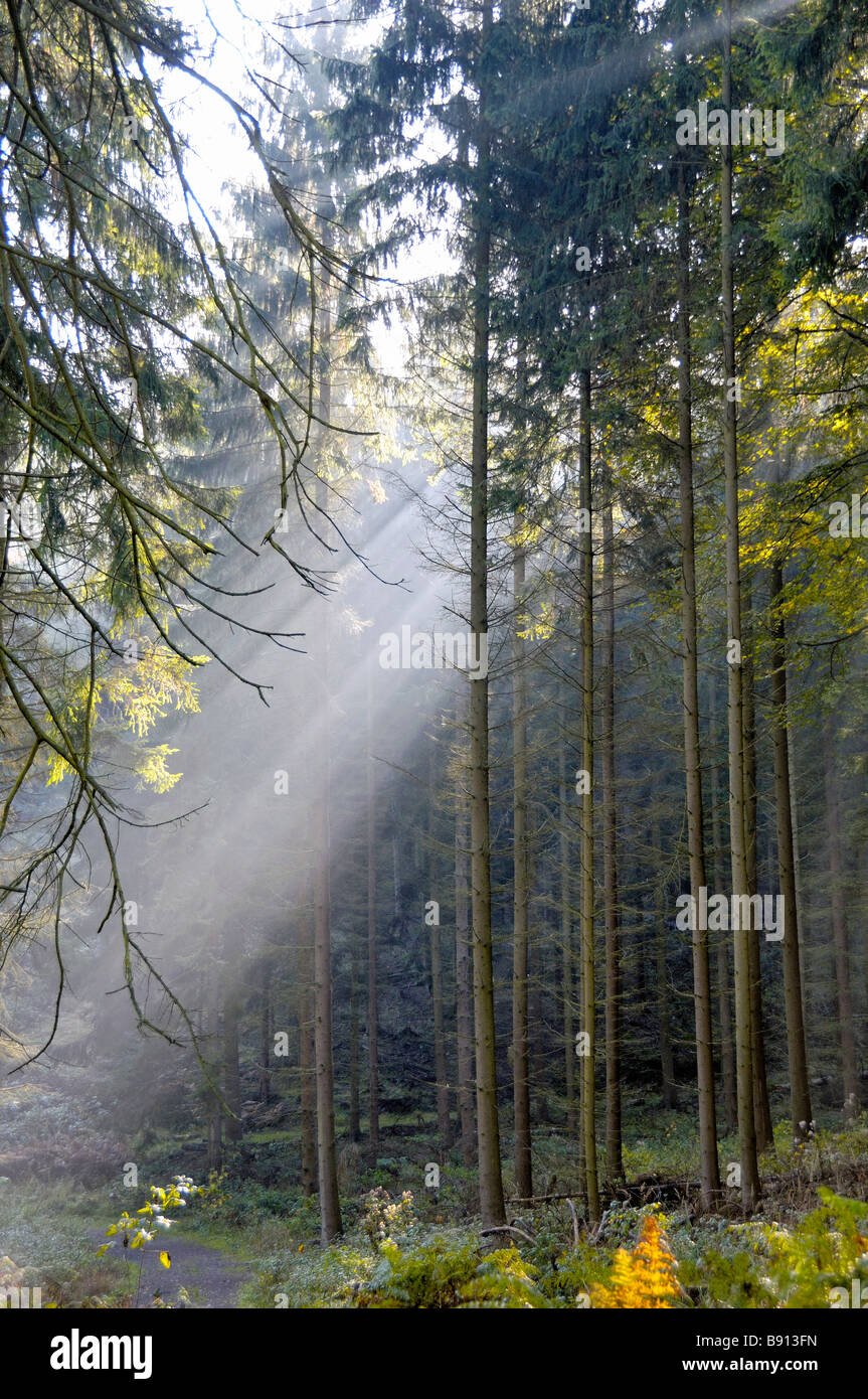 Rays of early morning sunlight streaming through spruces in Karlsbrunn Germany - Stock Image