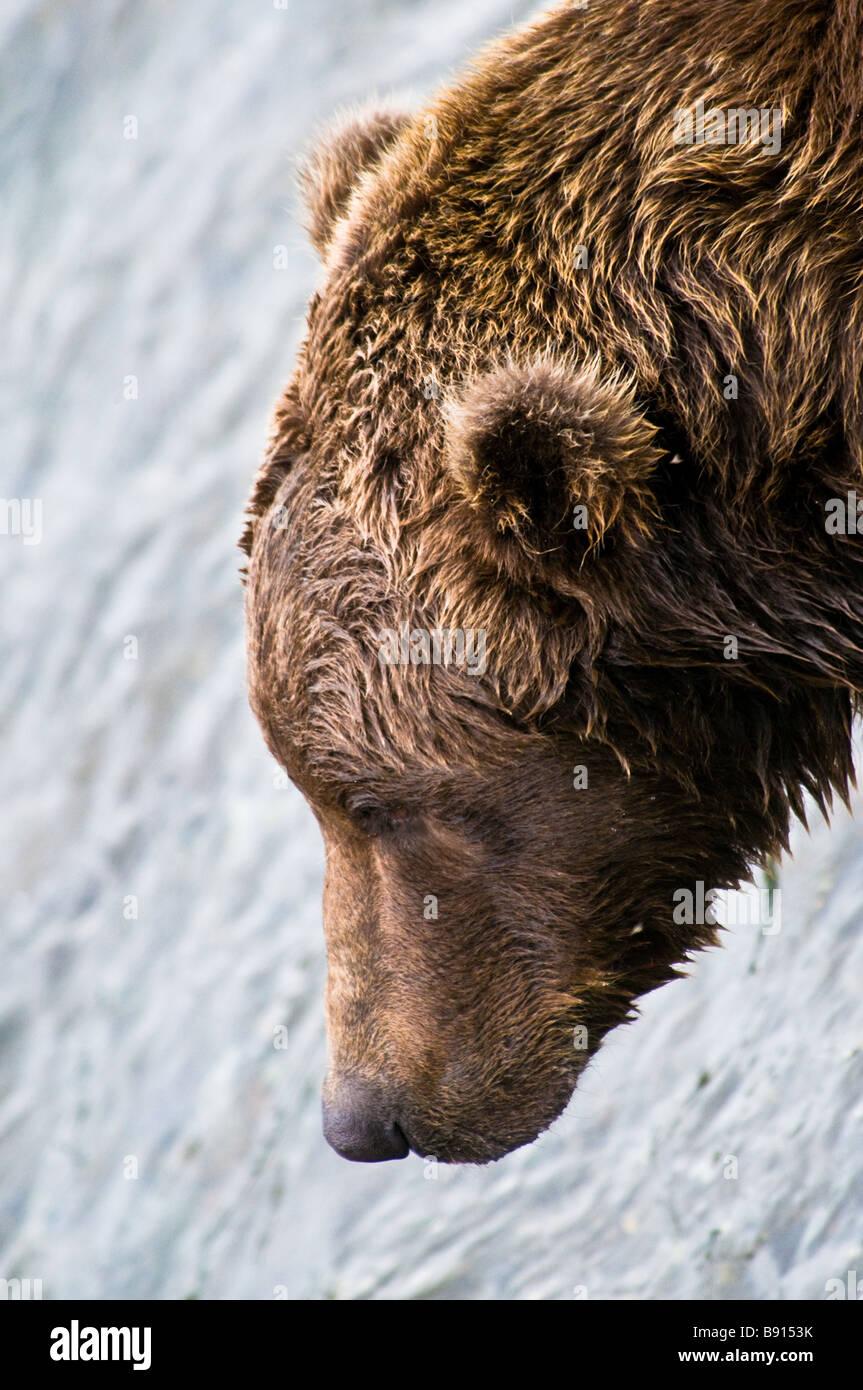 Close up profile of a wild adult male Grizzly Bear head, Ursus arctos horriblis, Katmai National Park, Alaska, USA Stock Photo