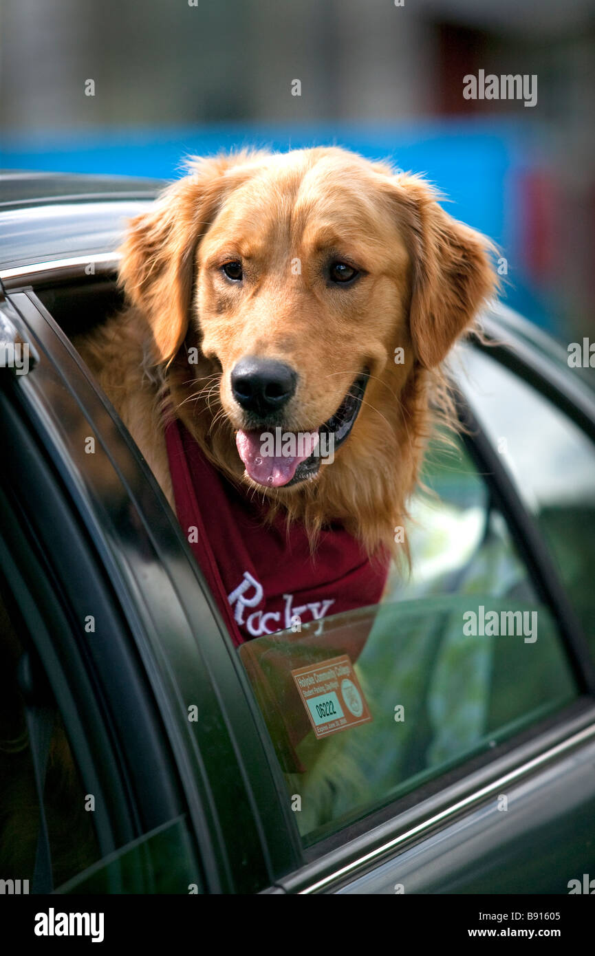 A golden retriever dog riding in a car with his head out of the window. - Stock Image