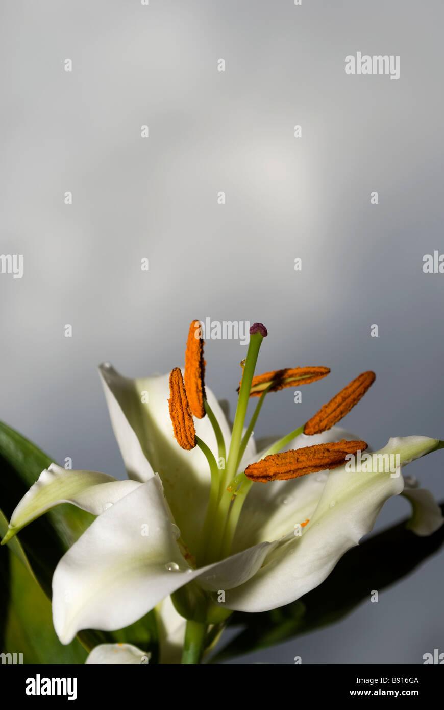 Elegant white Lily 2 - Stock Image