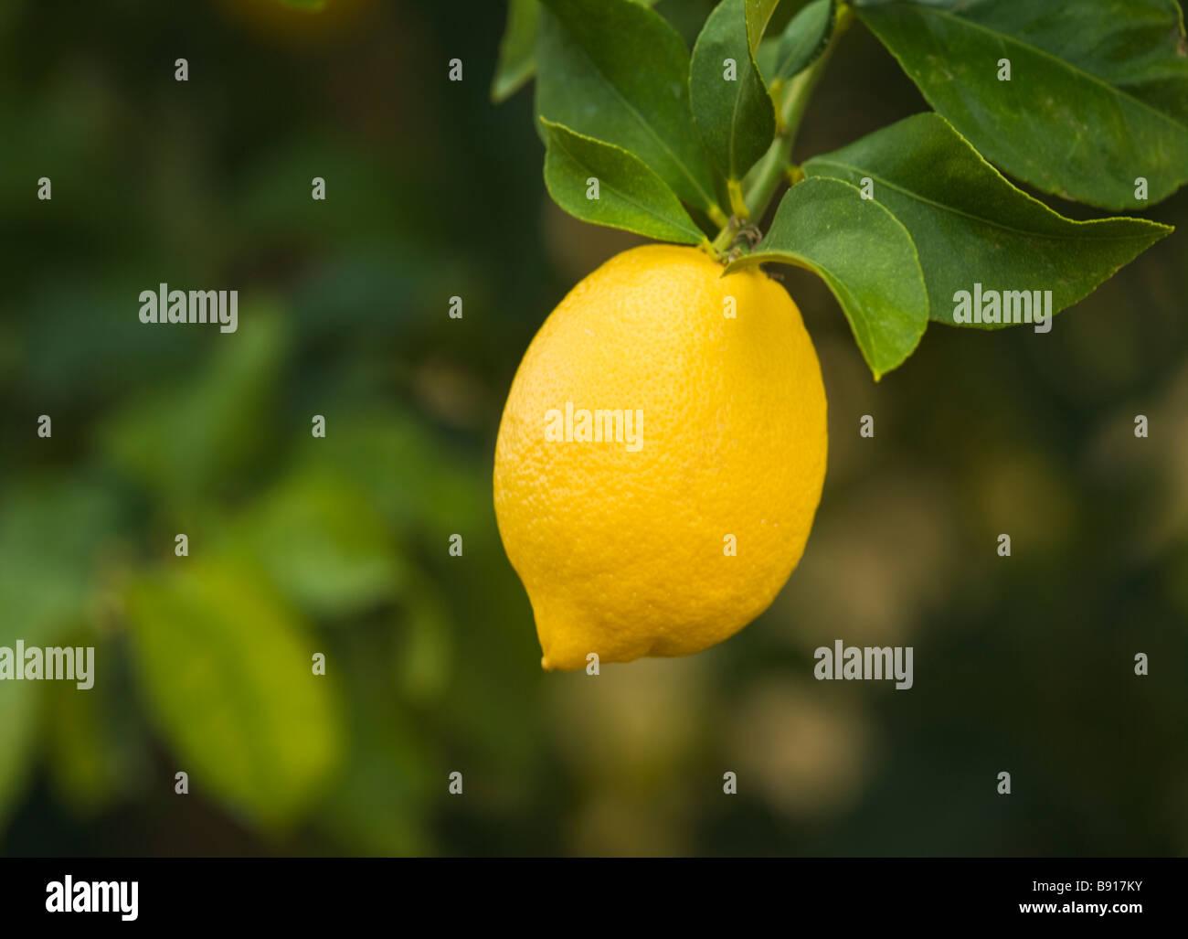 Lemon 'Lisbon'  variety hanging on branch. - Stock Image