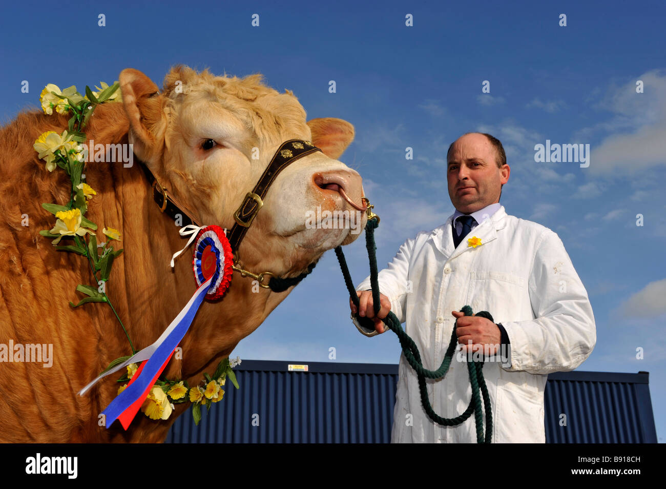 Blonde Aquataine champion bull with rosettes and garland of flowers on at a sale Cumbria - Stock Image