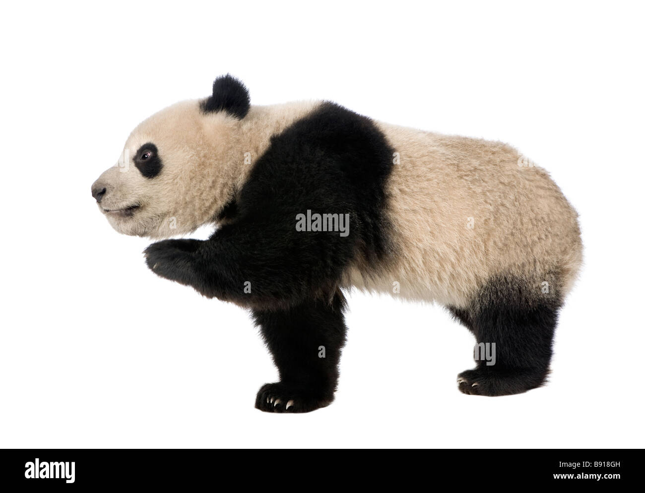 Giant Panda 18 months Ailuropoda melanoleuca in front of a white background Stock Photo