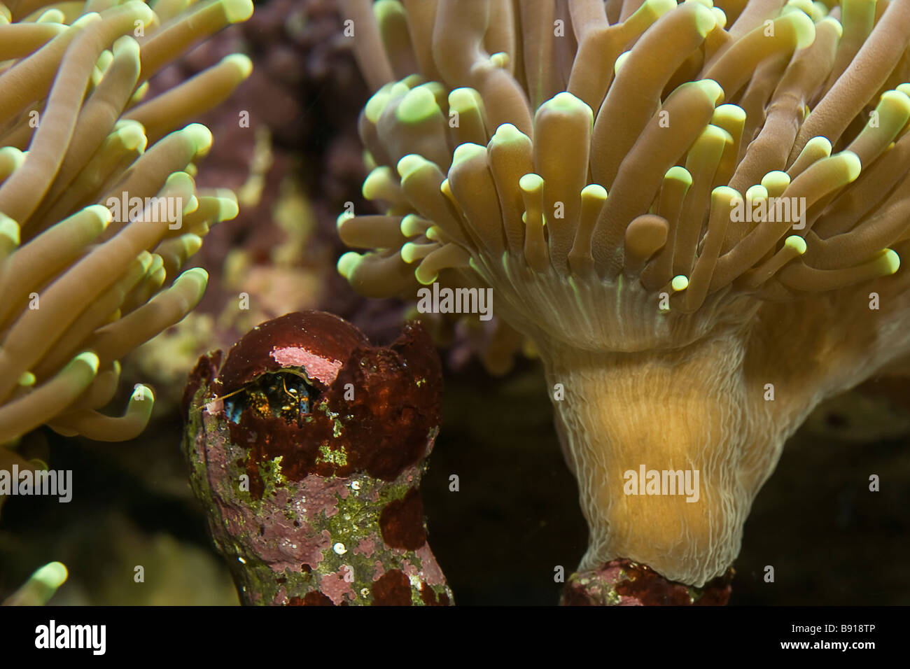 Torch coral euphyllia glabrescens and blue legged hermit crab - Stock Image