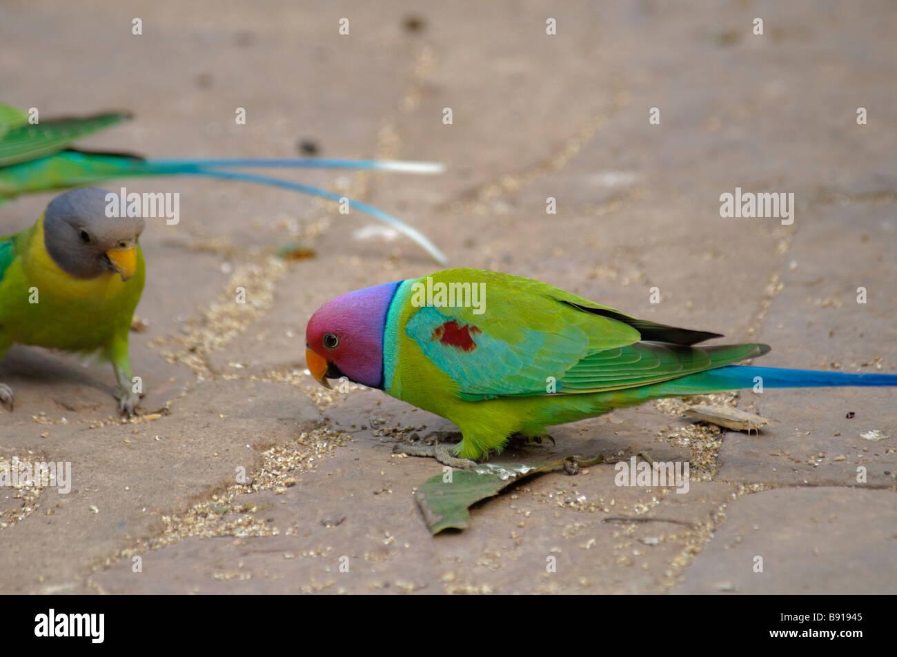 male and female Plum-headed Parakeets Psittacula cyanocephala