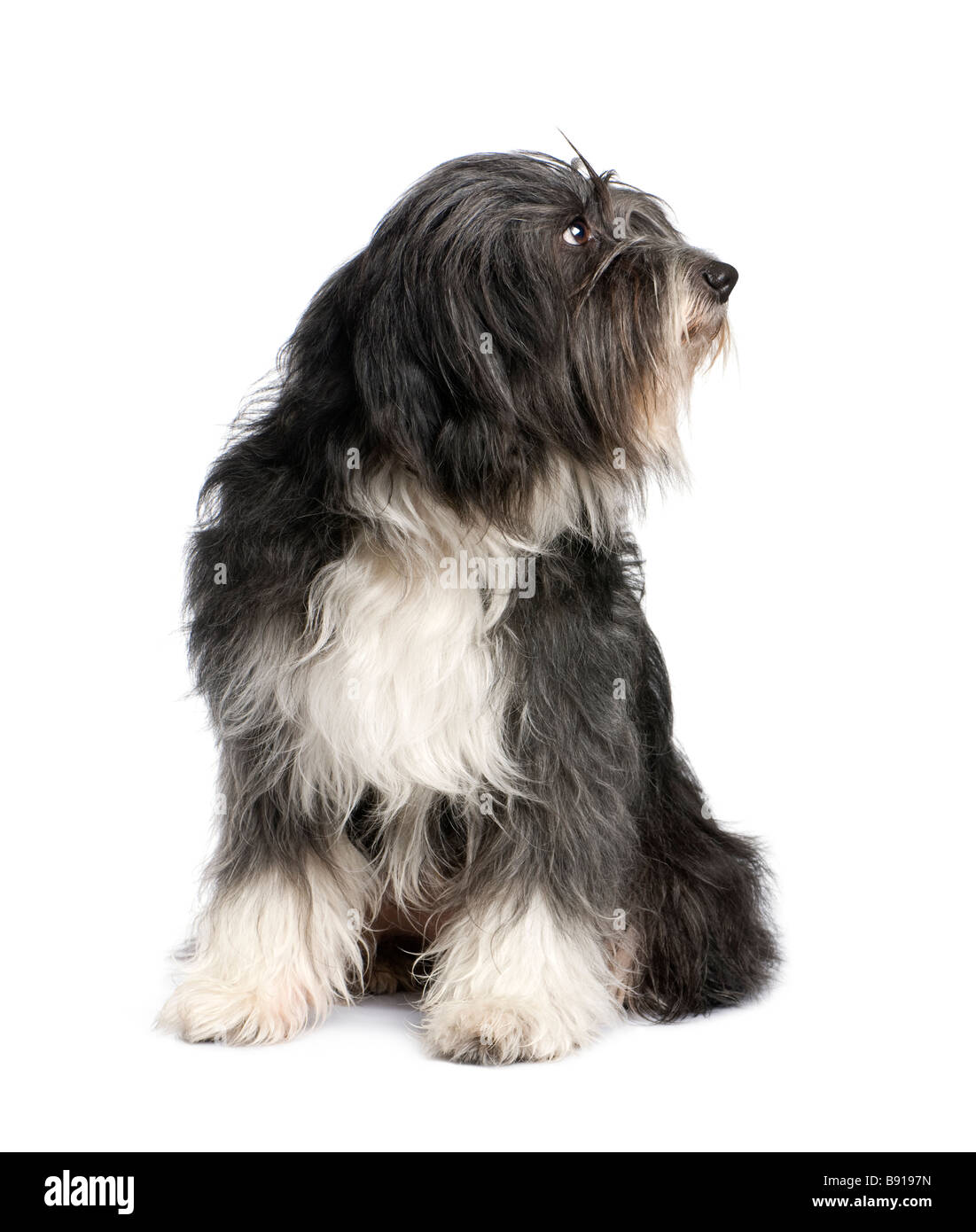 Tibetan Terrier 7 years in front of a white background - Stock Image