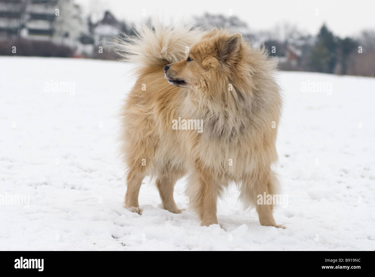 a brown eurasier dog looking at something distant in a snowy background - Stock Image