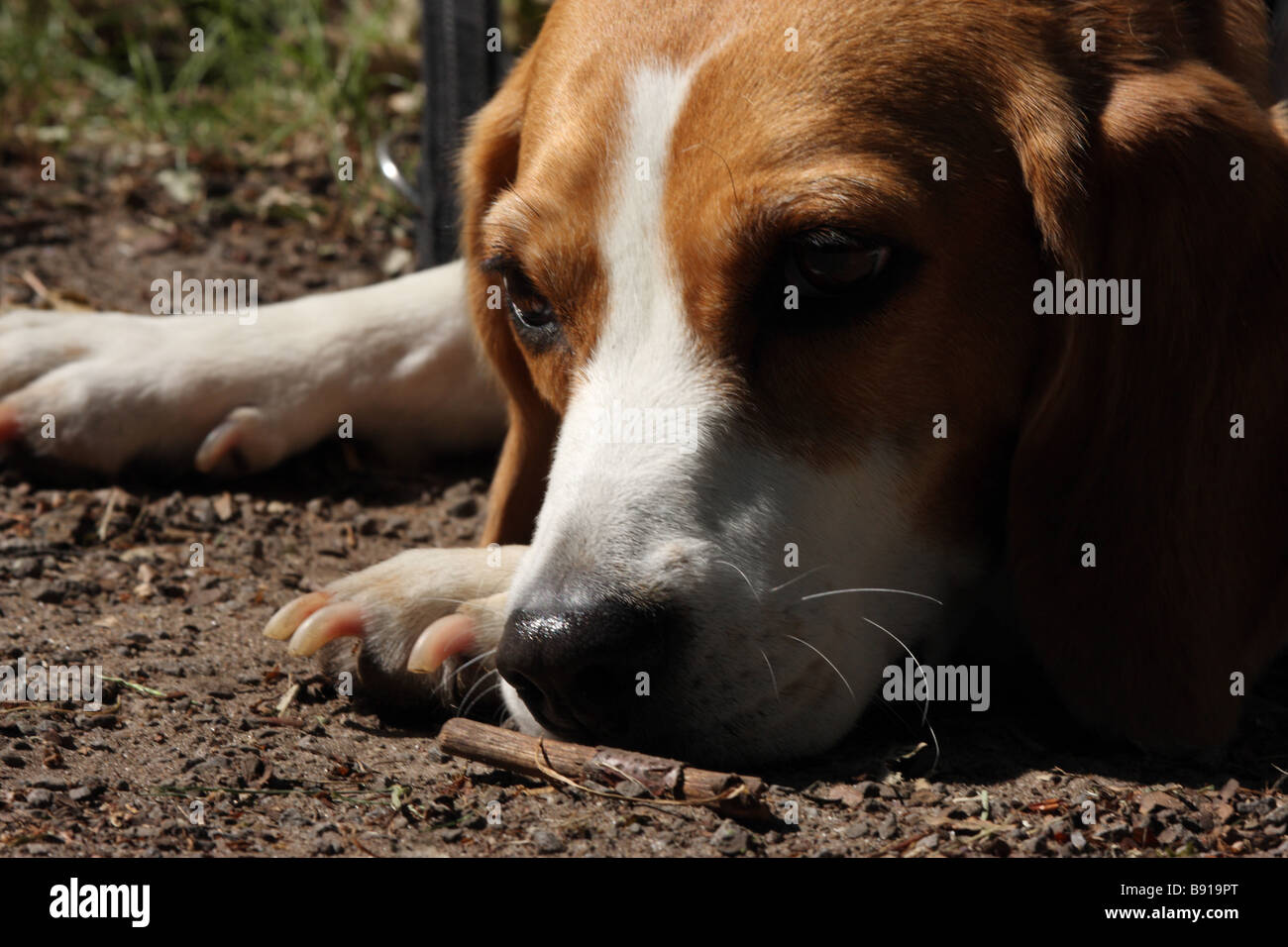 beagle dreaming - Stock Image