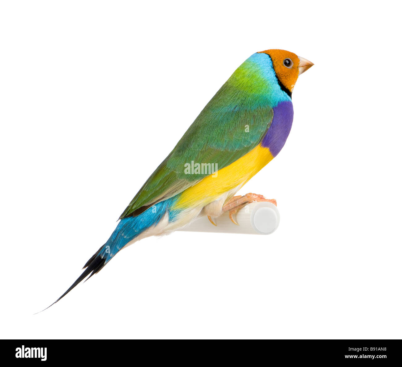 Gouldian Finch Erythrura gouldiae in front of a white background - Stock Image