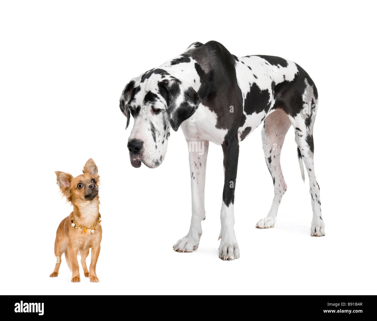harlequin Great Dane 4 years looking down at a small chihuahua 18 months in front of a white background - Stock Image