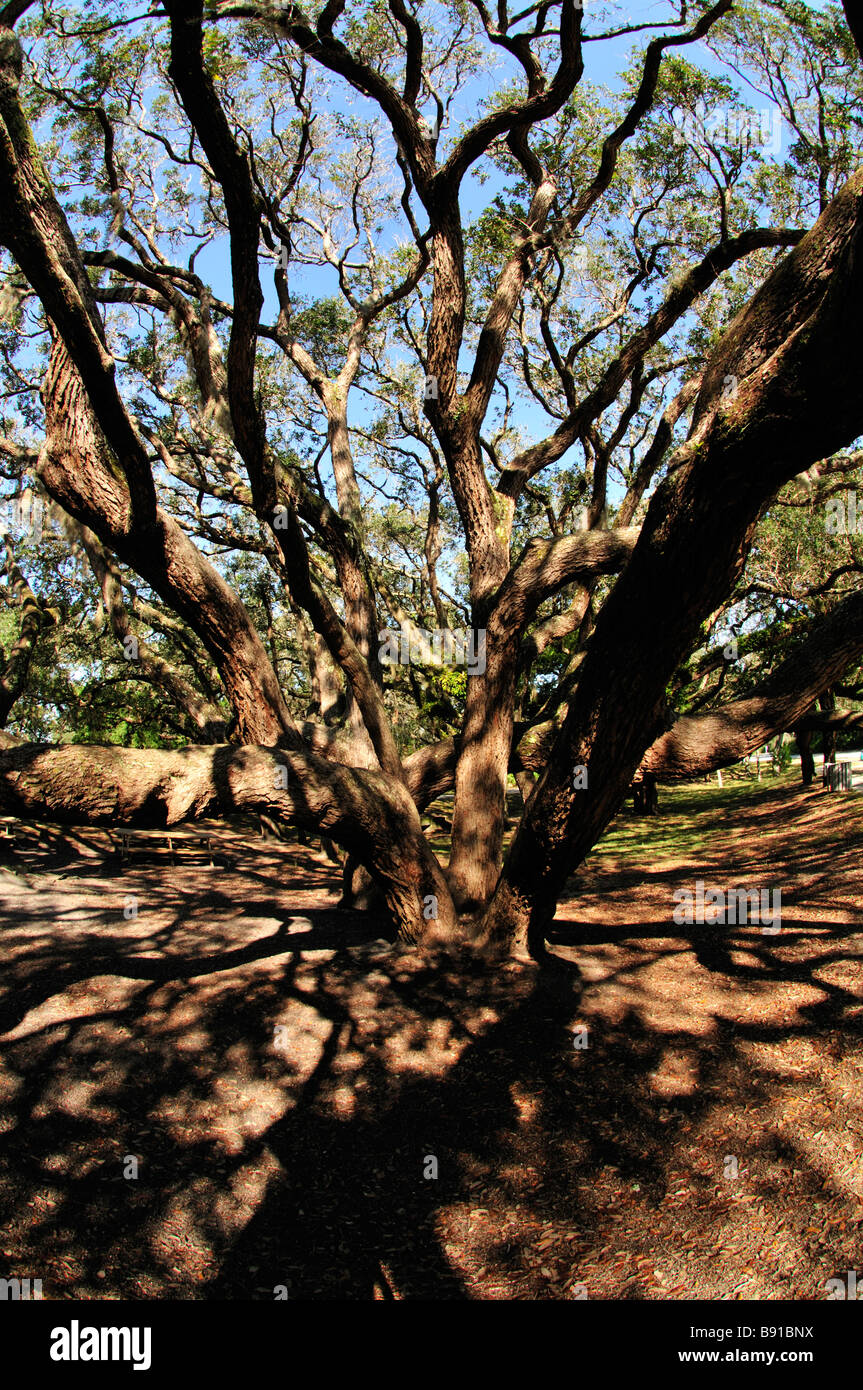 Trunks and branches of live oaks evergreen oaks spread out in all directions - Stock Image