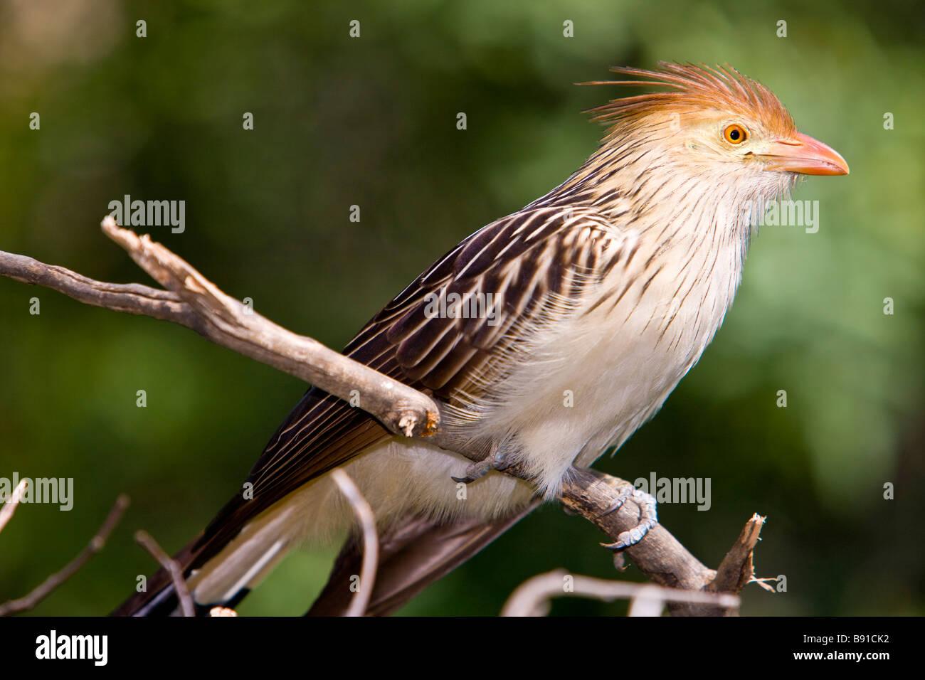 Guira Cuckoo ( Guira guira ) - Stock Image