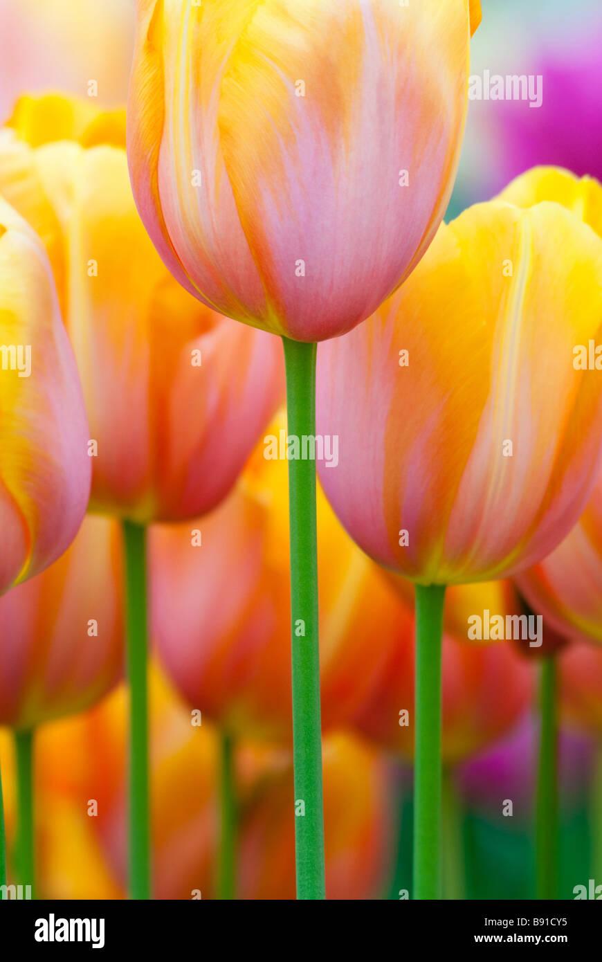 Colorful tulips in spring Keukenhof The Netherlands - Stock Image
