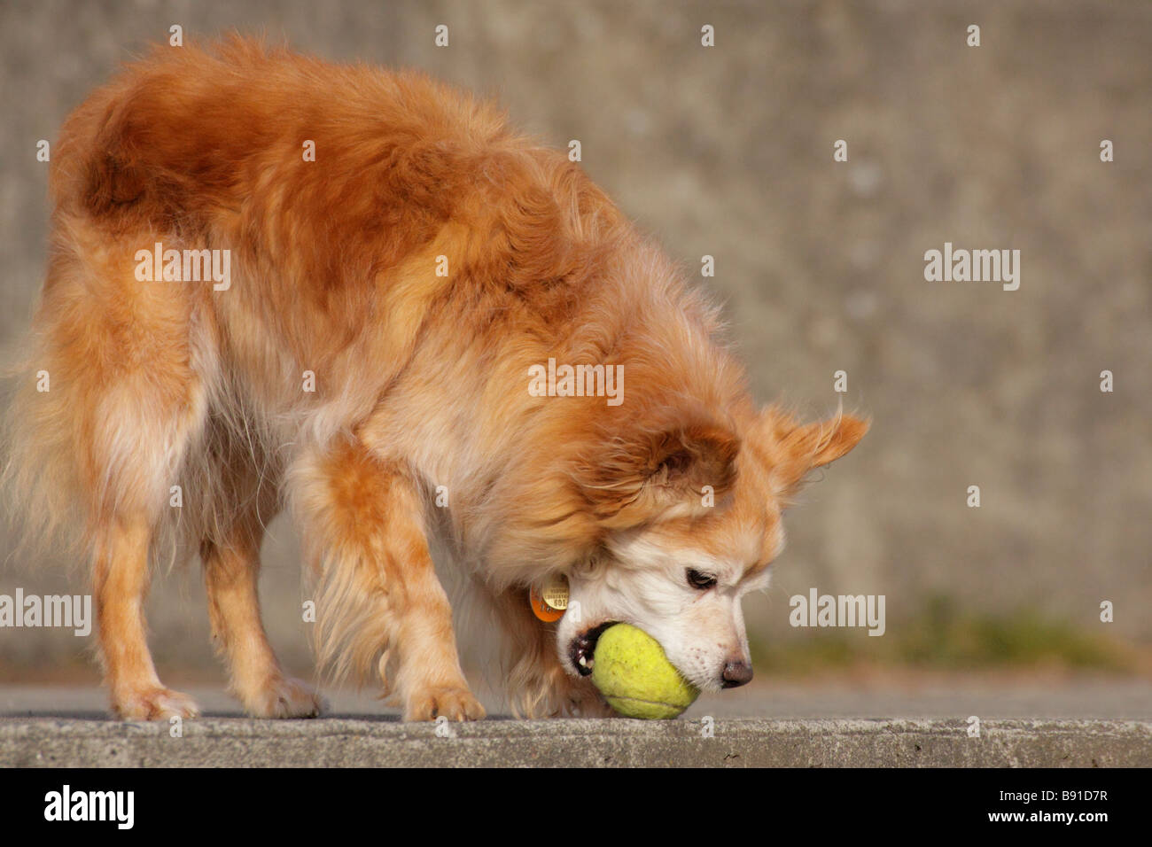 Dog playing with tennis ball Victoria British Columbia Canada - Stock Image