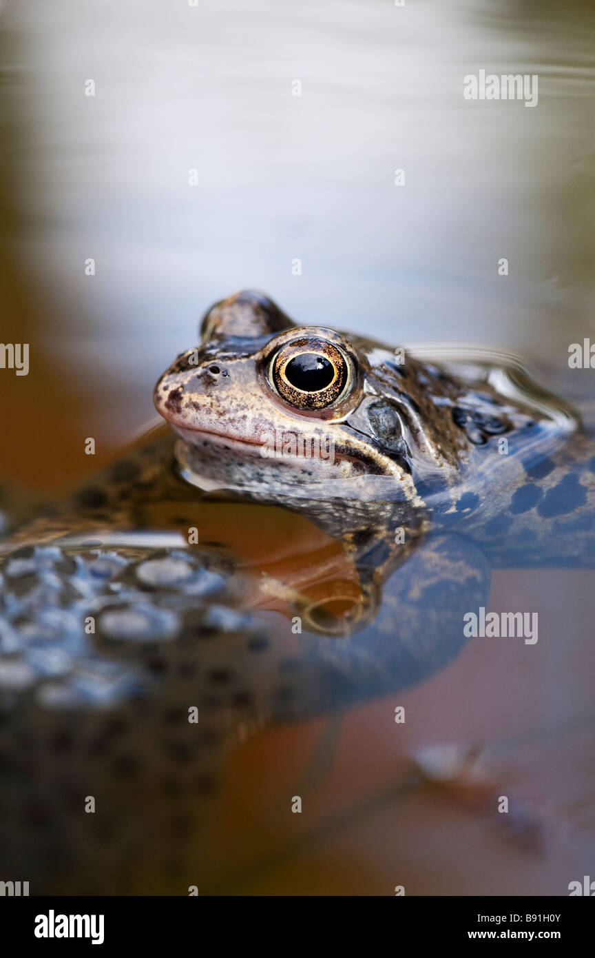 Rana temporaria. Common frog and frogs spawn in a garden pond. UK - Stock Image