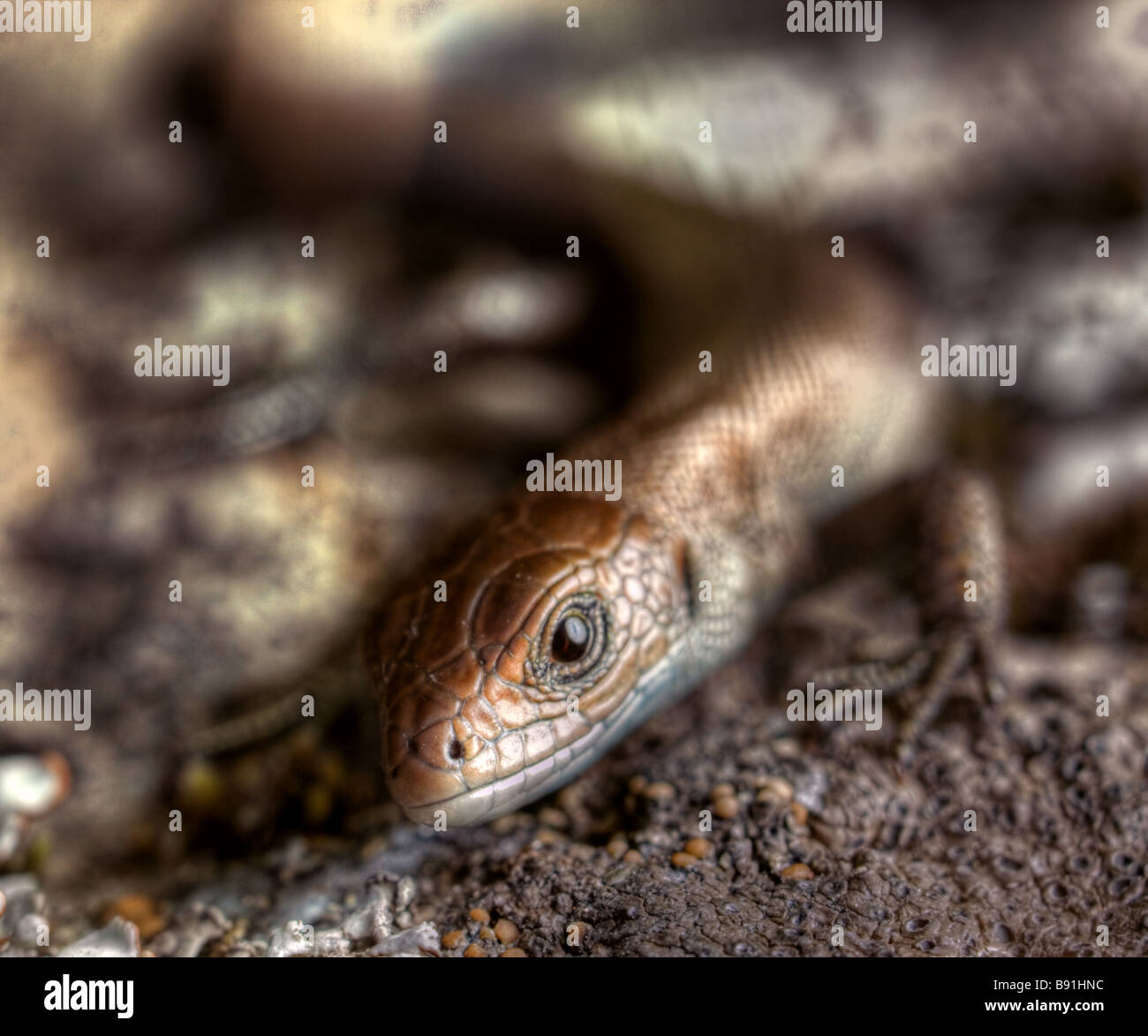 Yong common lizard looking at camera - Stock Image