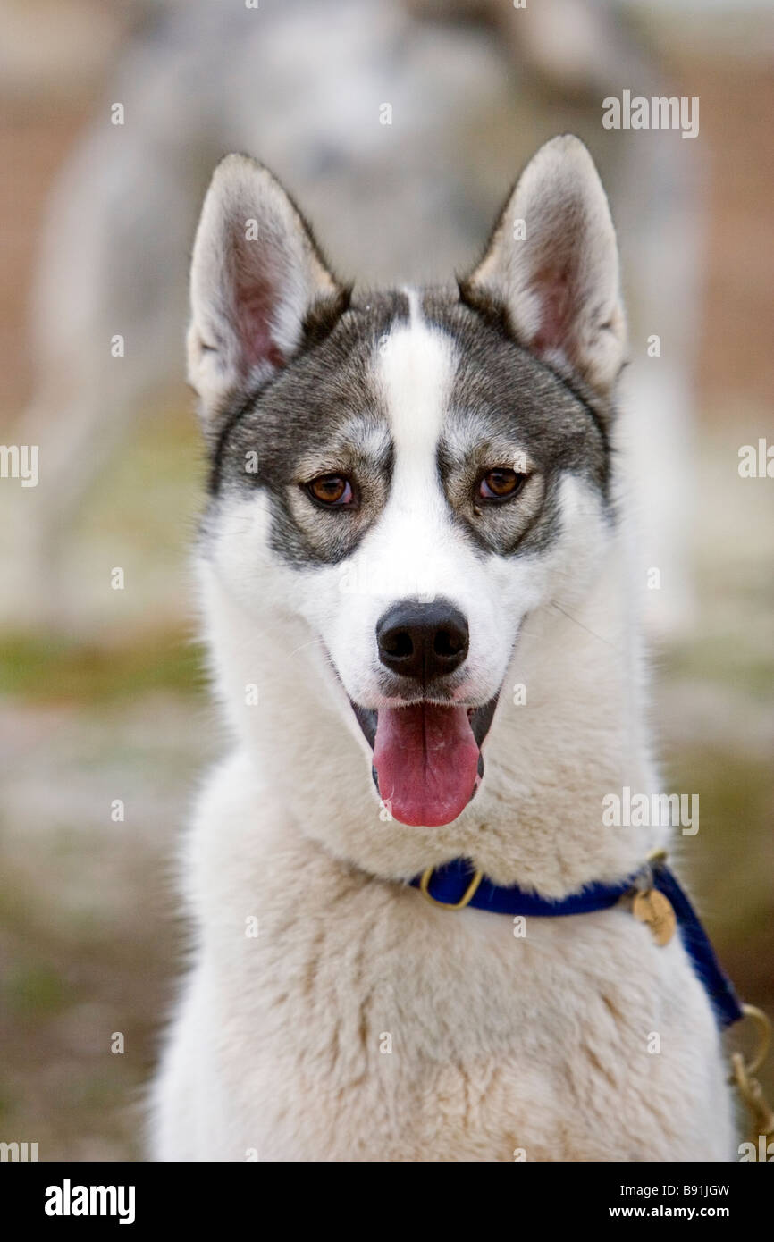 Portrait of a Husky - Stock Image