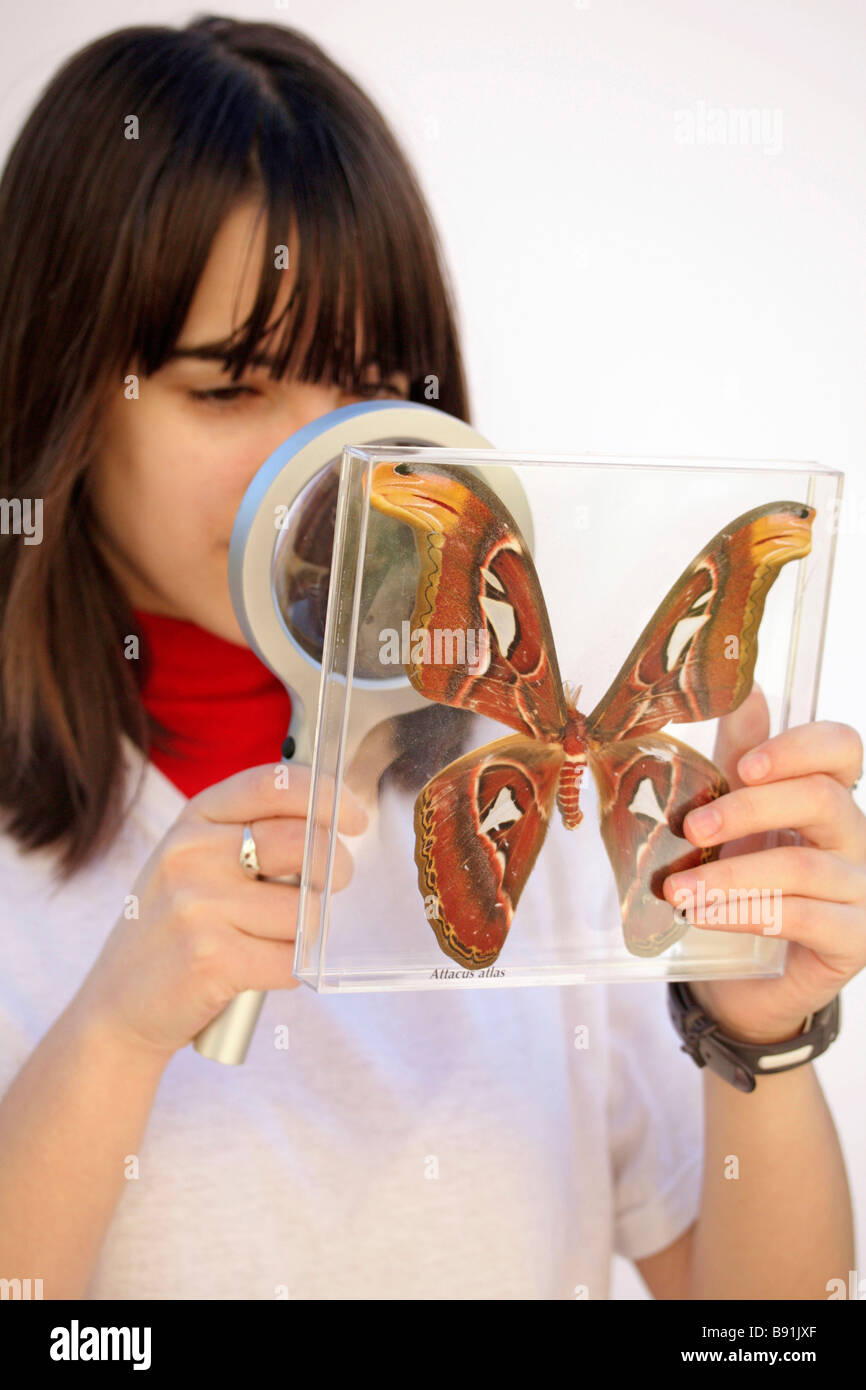 Watching a giant butterfly. Attacus atlas - Stock Image
