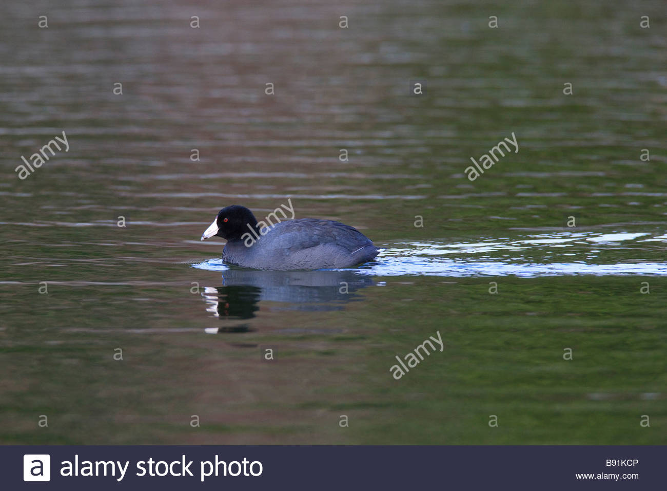 An American coot (Fulica americana) swims across Clear Lake located in Skagit County, Washington. - Stock Image