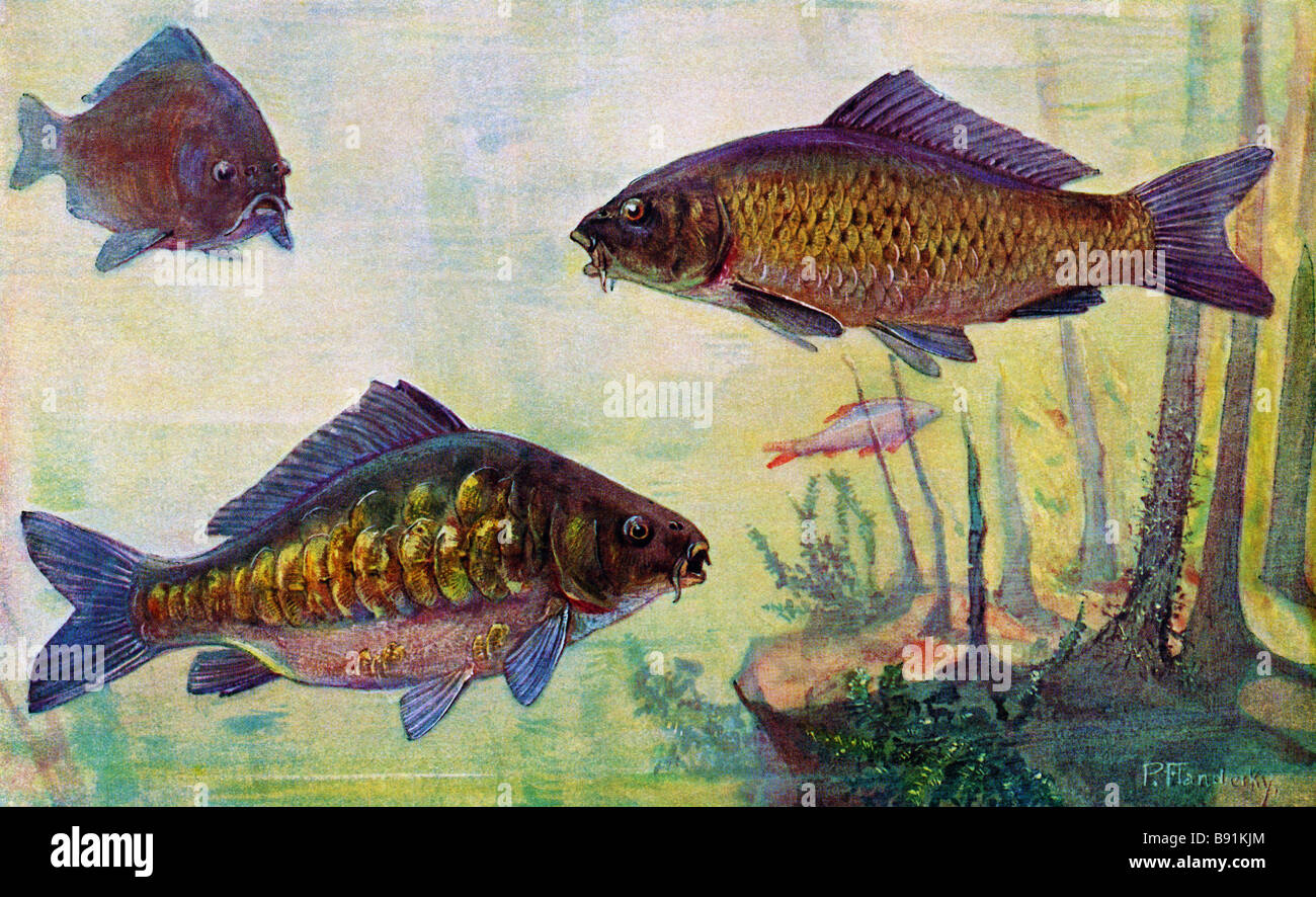 The Common carp or European carp (Cyprinus carpio), 19th century illustration by Paul Flanderky (1872-1937) Stock Photo