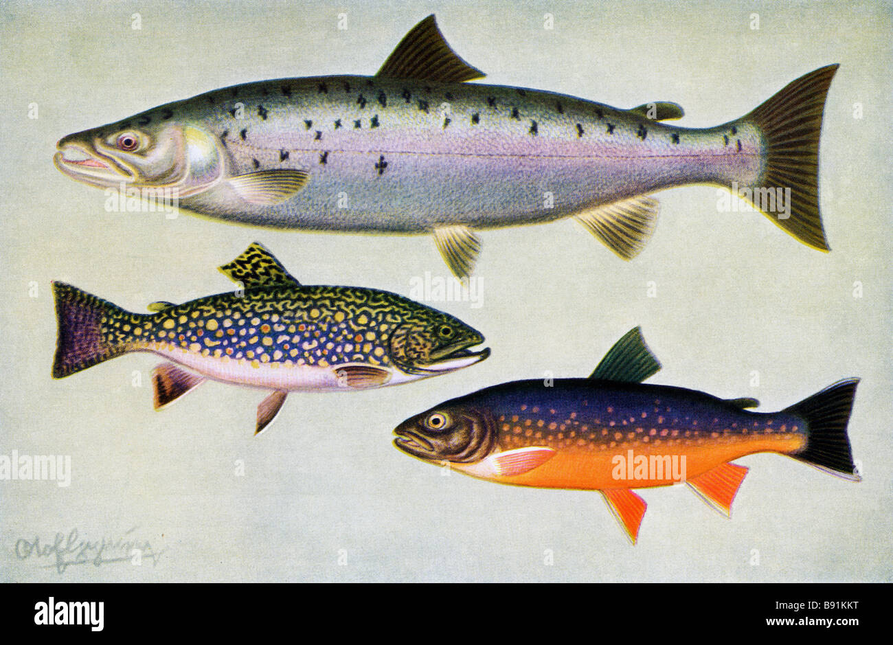 Atlantic salmon, brook trout and Arctic char