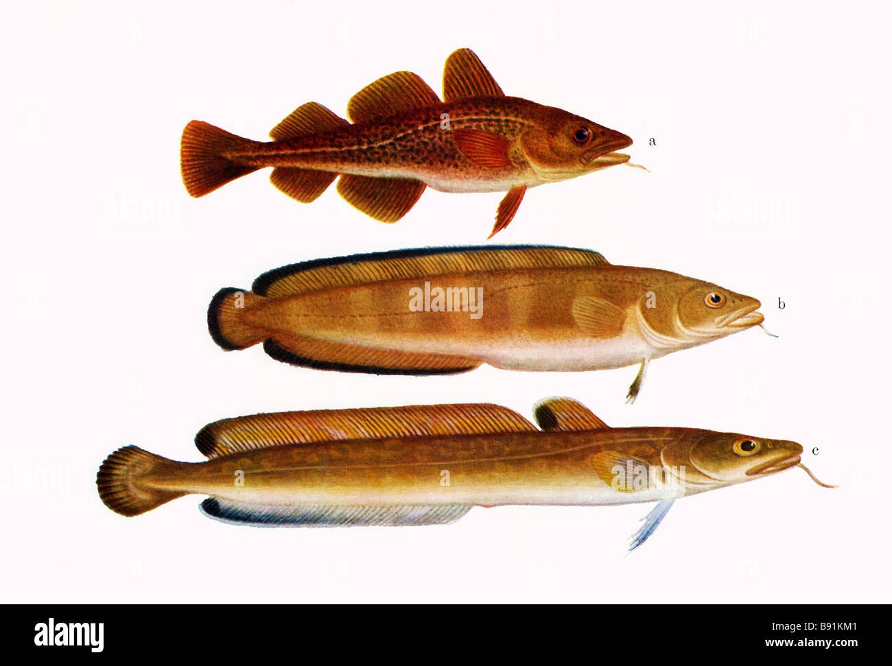 (a) Cod, Gadus ogac (b) The cusk or tusk, Brosme brosme and (c)  common ling, molva, 19th century art by O Gylling Stock Photo