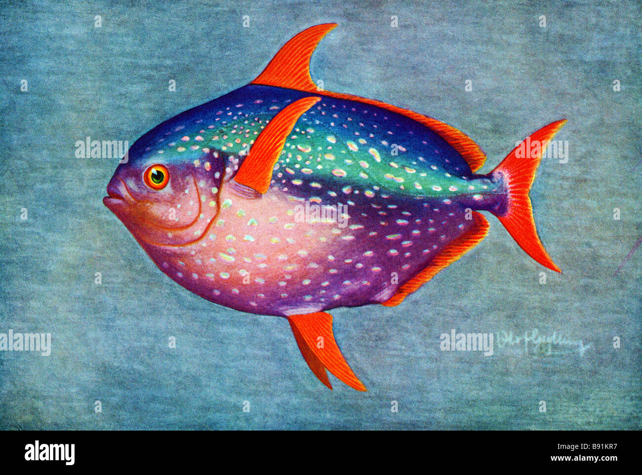 Opah, Lampris guttatus,19th century illustration by Olof Gylling (1850-1928) - Stock Image