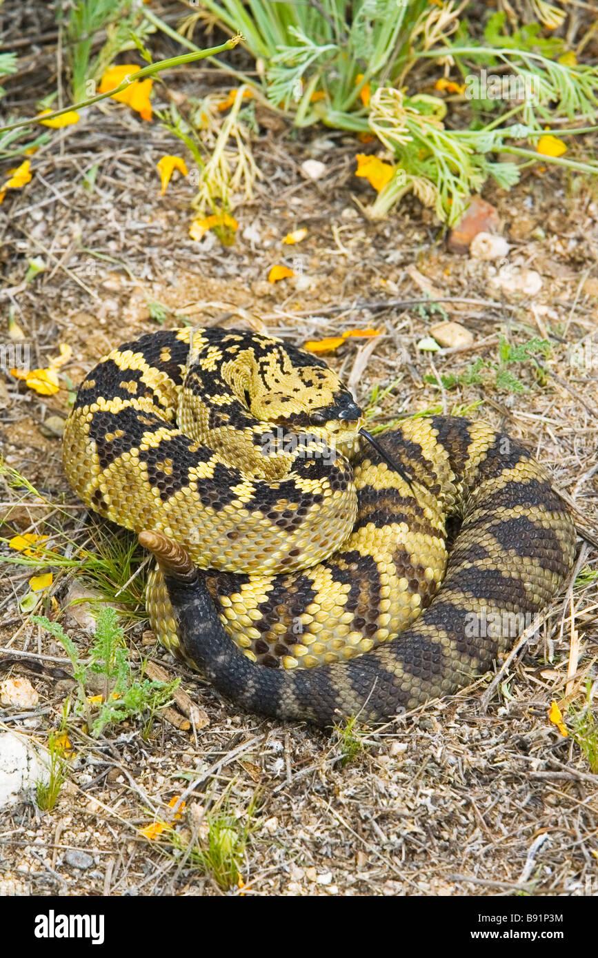 Black Tailed Rattlesnake Coils Up Defensively In Arizona Desert