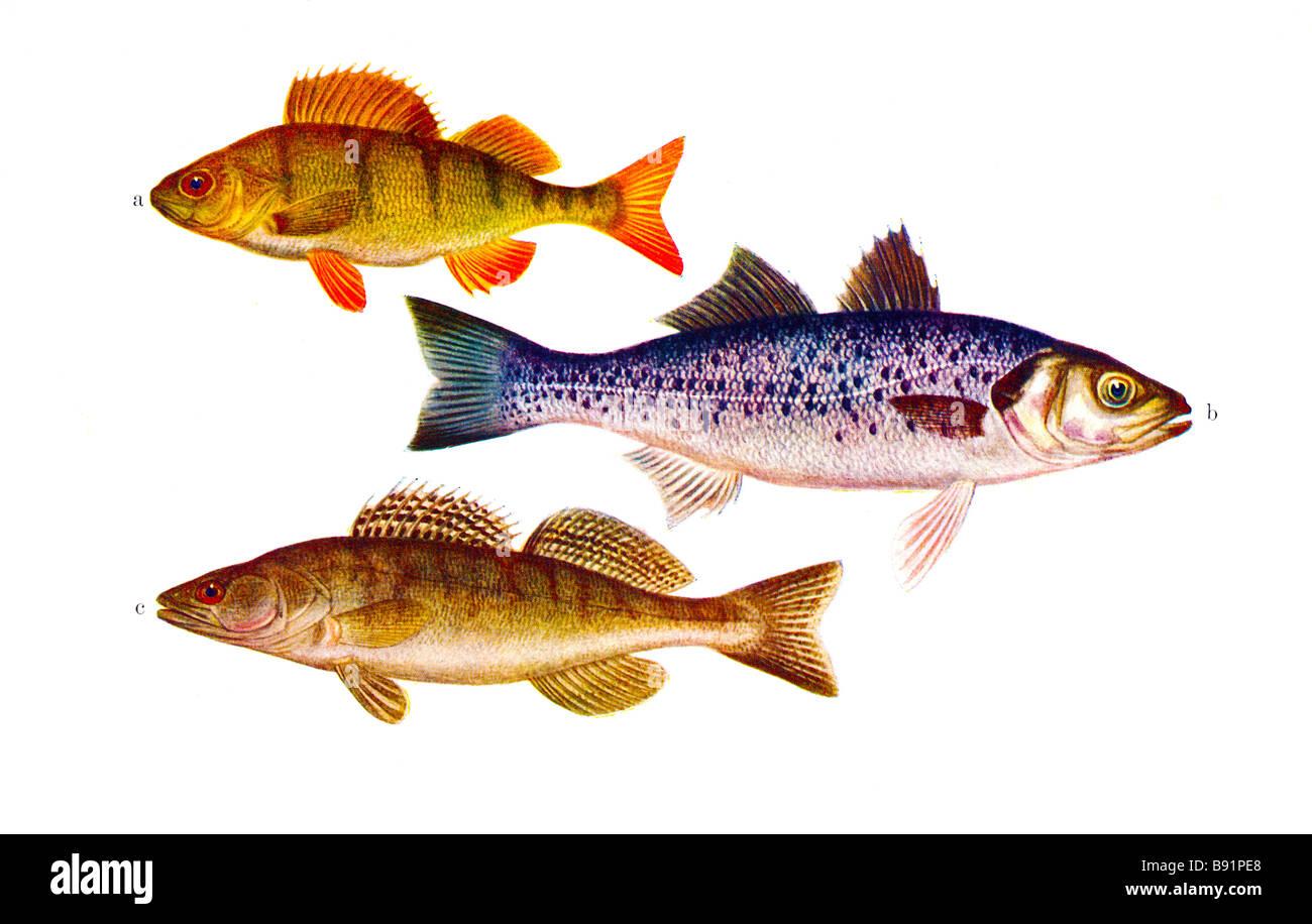 Illustration of European perch Perca fluviatilis, European seabass Dicentrarchus labrax, Zander Sander lucioperca Stock Photo