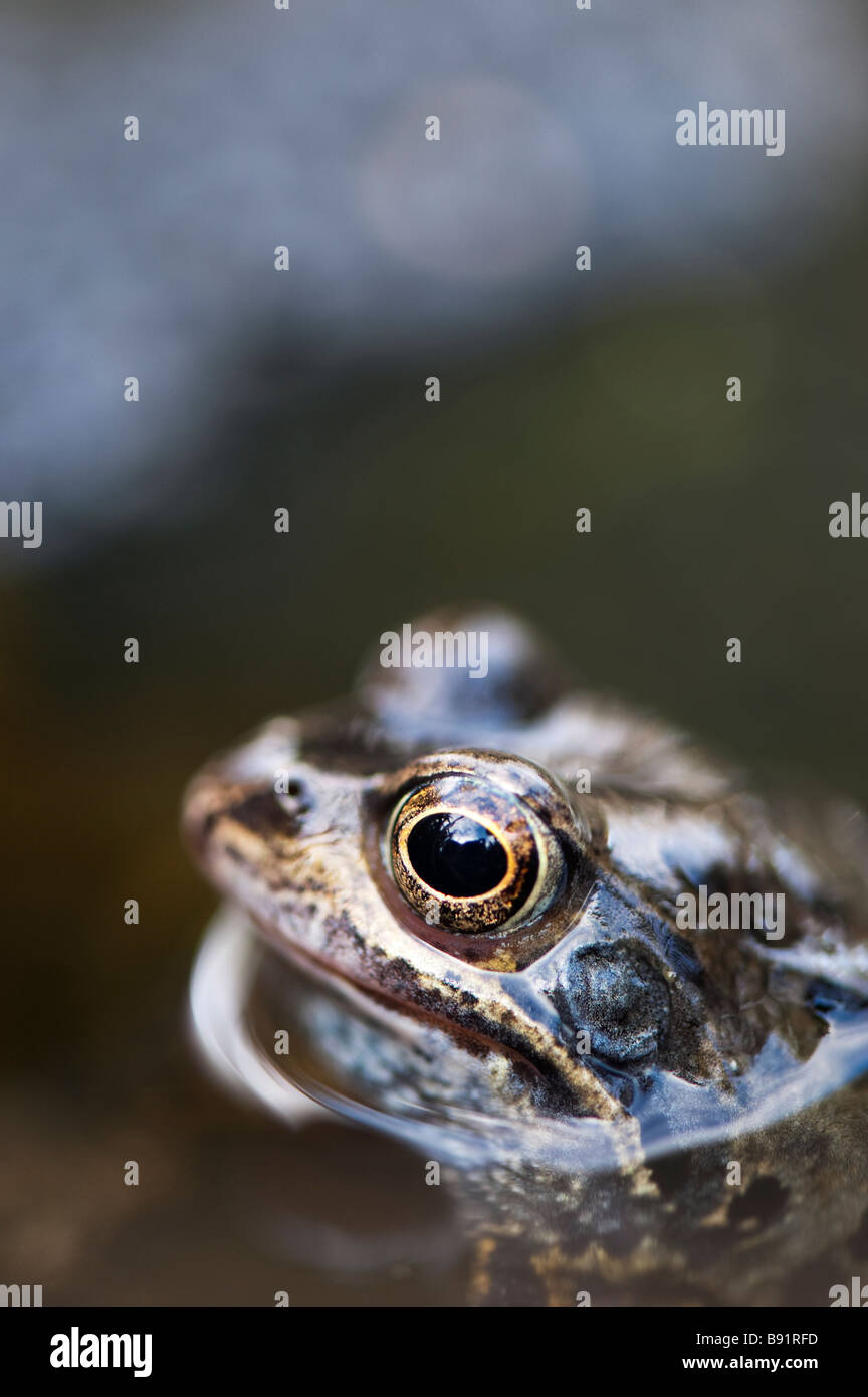 Rana temporaria. Common frogs head out of the water in a garden pond. UK - Stock Image