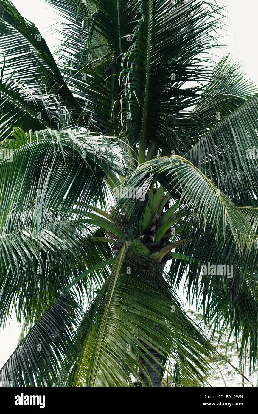 A coconut palm. - Stock Image
