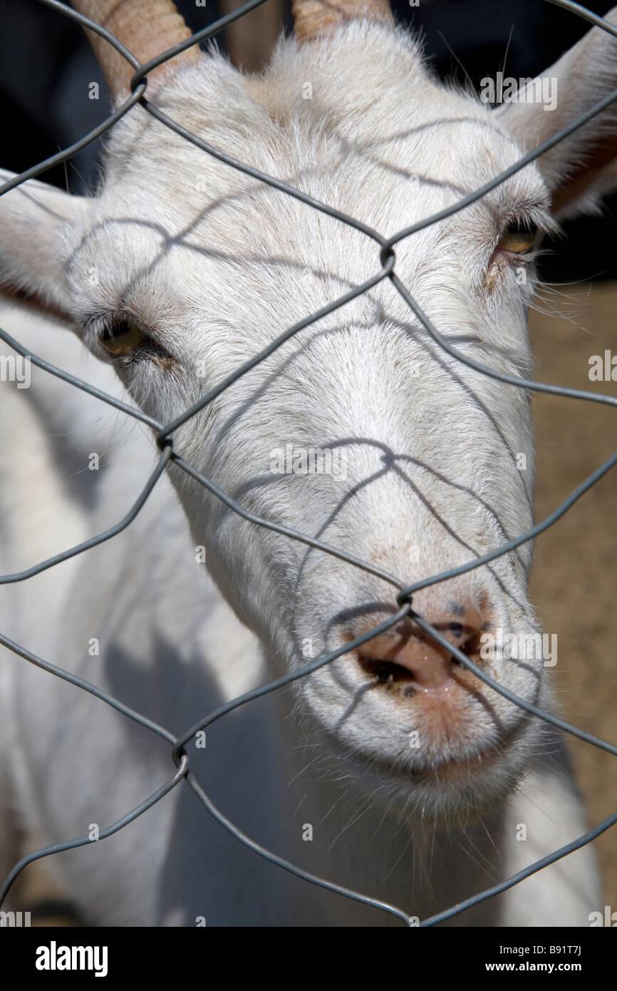 White Goat Fence Stock Photos & White Goat Fence Stock Images - Alamy