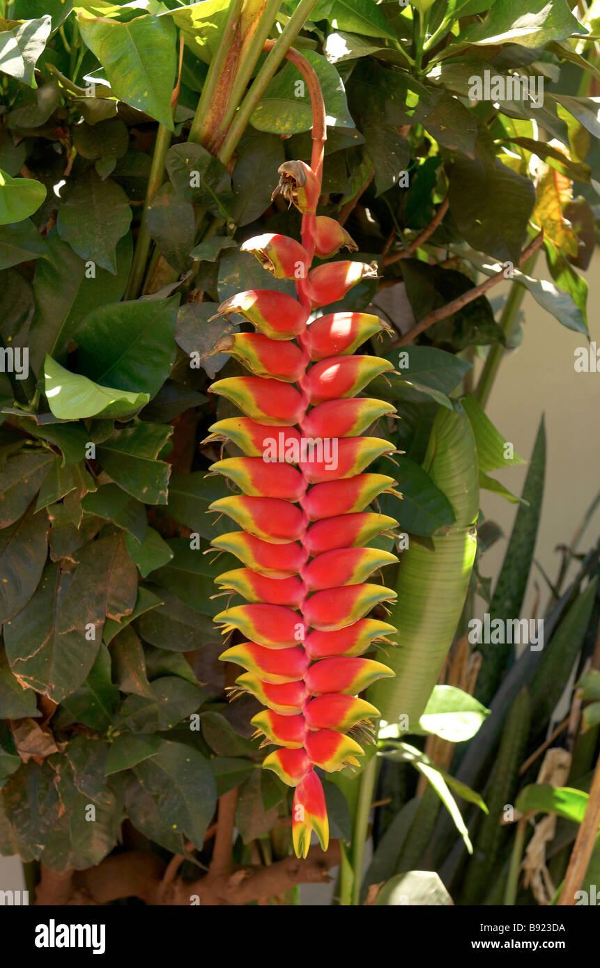 Heliconia pendula tropical flower - Stock Image