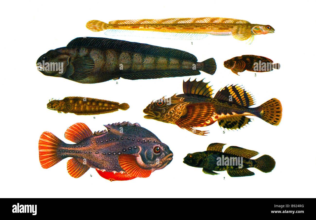 1 Snakeblenny 2 wolffish 3 sea snail 4 blenny 5 Bull Rout 6 lumpfish 7 Black goby Illustration by Olof Gylling (1850 Stock Photo