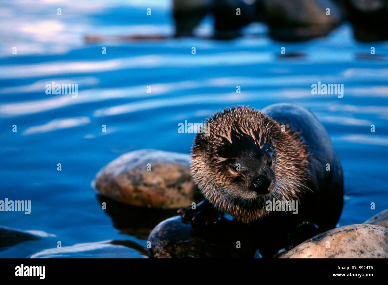 North American River Otter, Lontra canadensis Stock Photo
