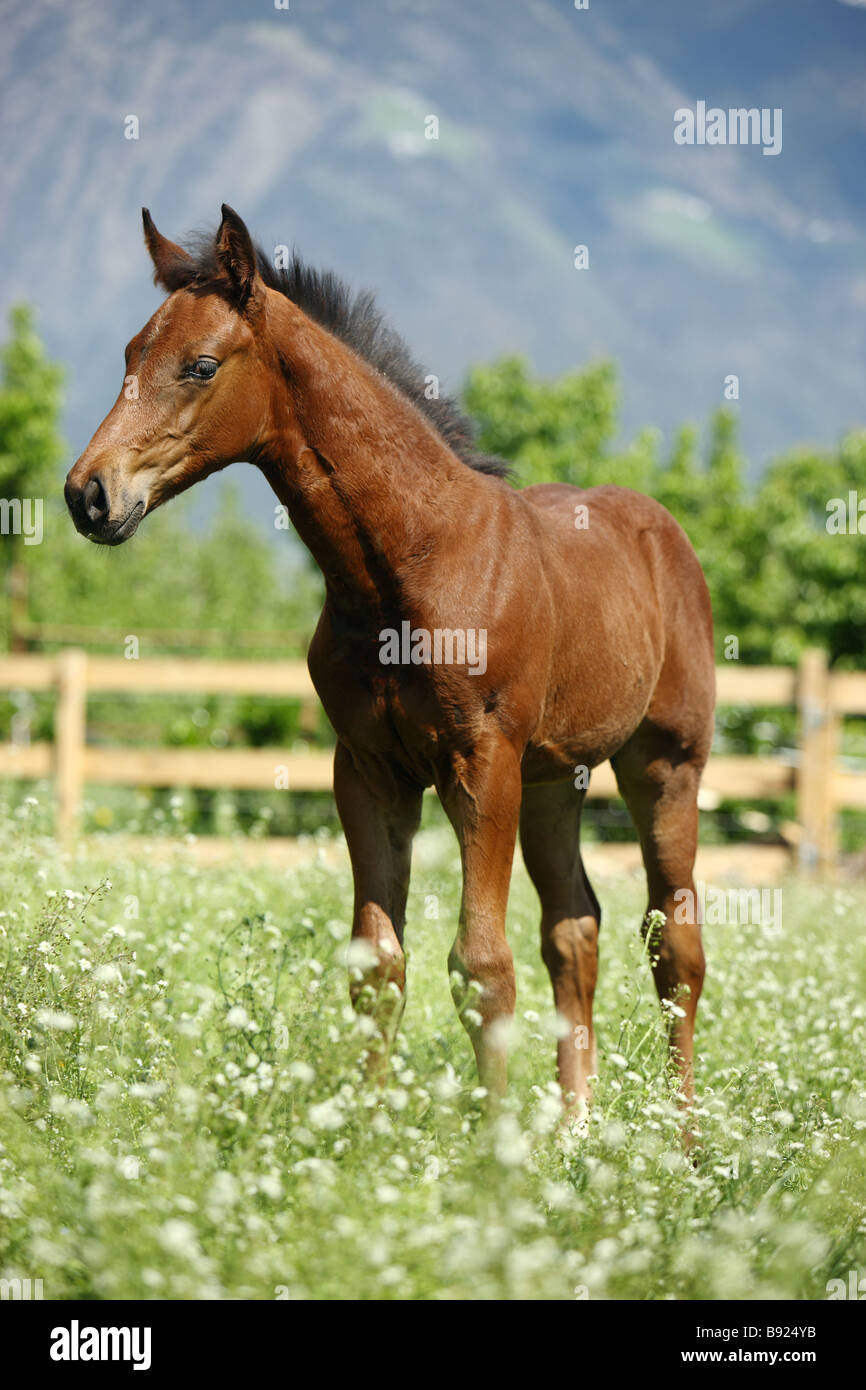 Oldenburg horse - foal standing on meadow - Stock Image