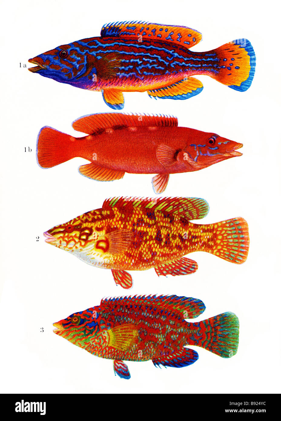 From top; Cuckoo Wrasse, male, Cuckoo Wrasse, female, Ballan wrasse, Corkwing wrasse, Illustration by Olof Gylling Stock Photo