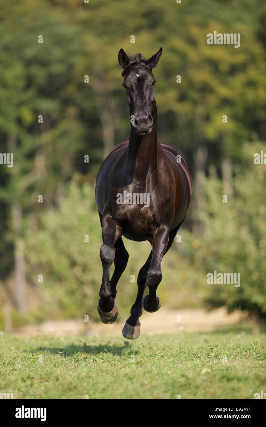 Oldenburg horse - galloping on meadow - Stock Image