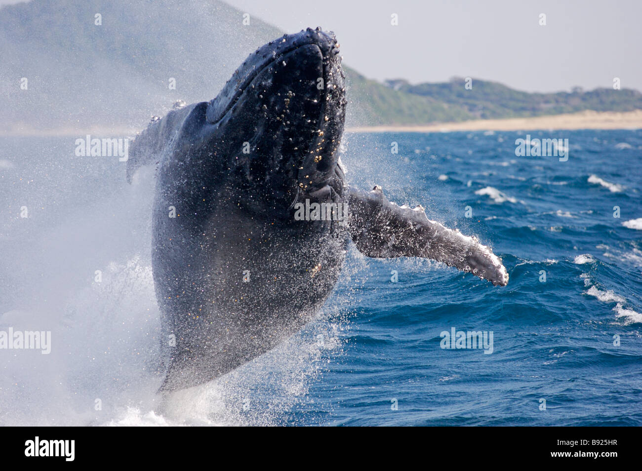 Humpbacked whale breaching St Lucia KwaZulu Natal Province South Africa - Stock Image