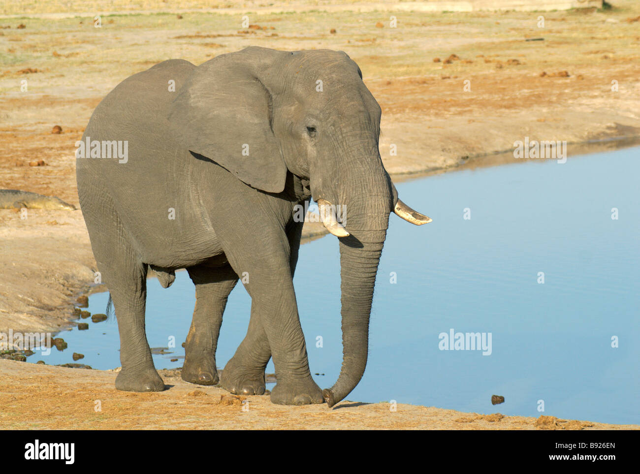 Solitary bull African elephant Loxodonta africana at a waterhole Stock Photo