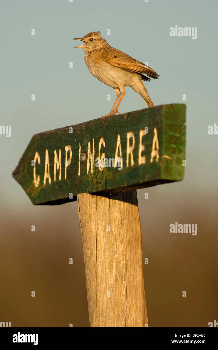 Rufous naped lark Mirafra africana sitting on camping area sign Central Kalahari Game Reserve Botswana Stock Photo