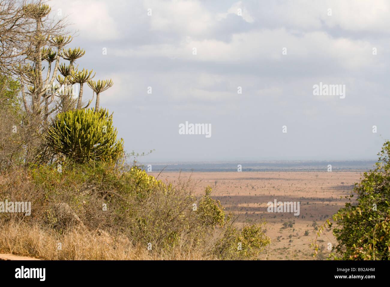 Lebombo knobthorn marula bushveld eco system Kruger National Park Mpumalanga Province South Africa - Stock Image
