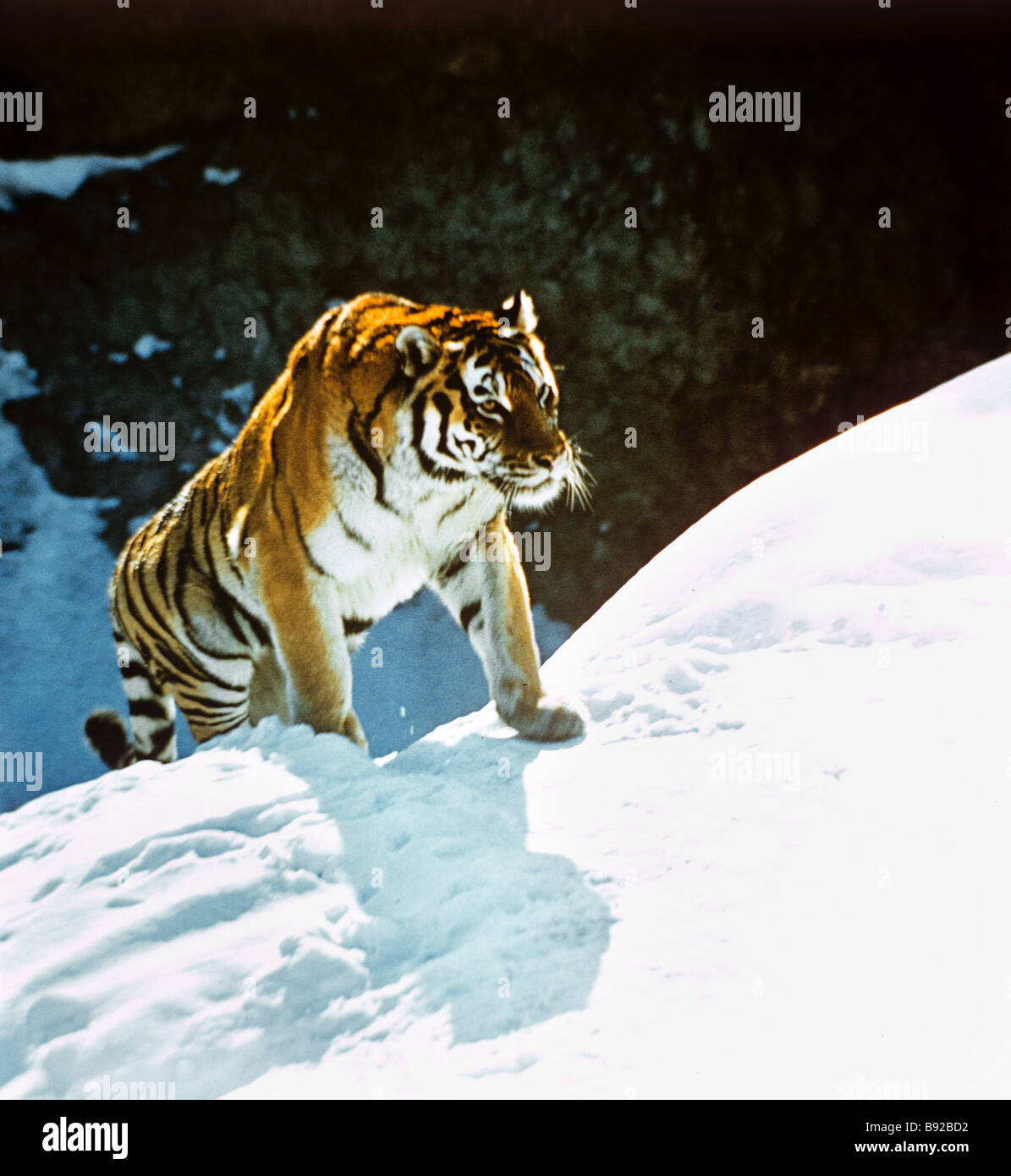 The Amur tiger an endangered species is in the Red Books of Russia and the International Union for the Conservation - Stock Image