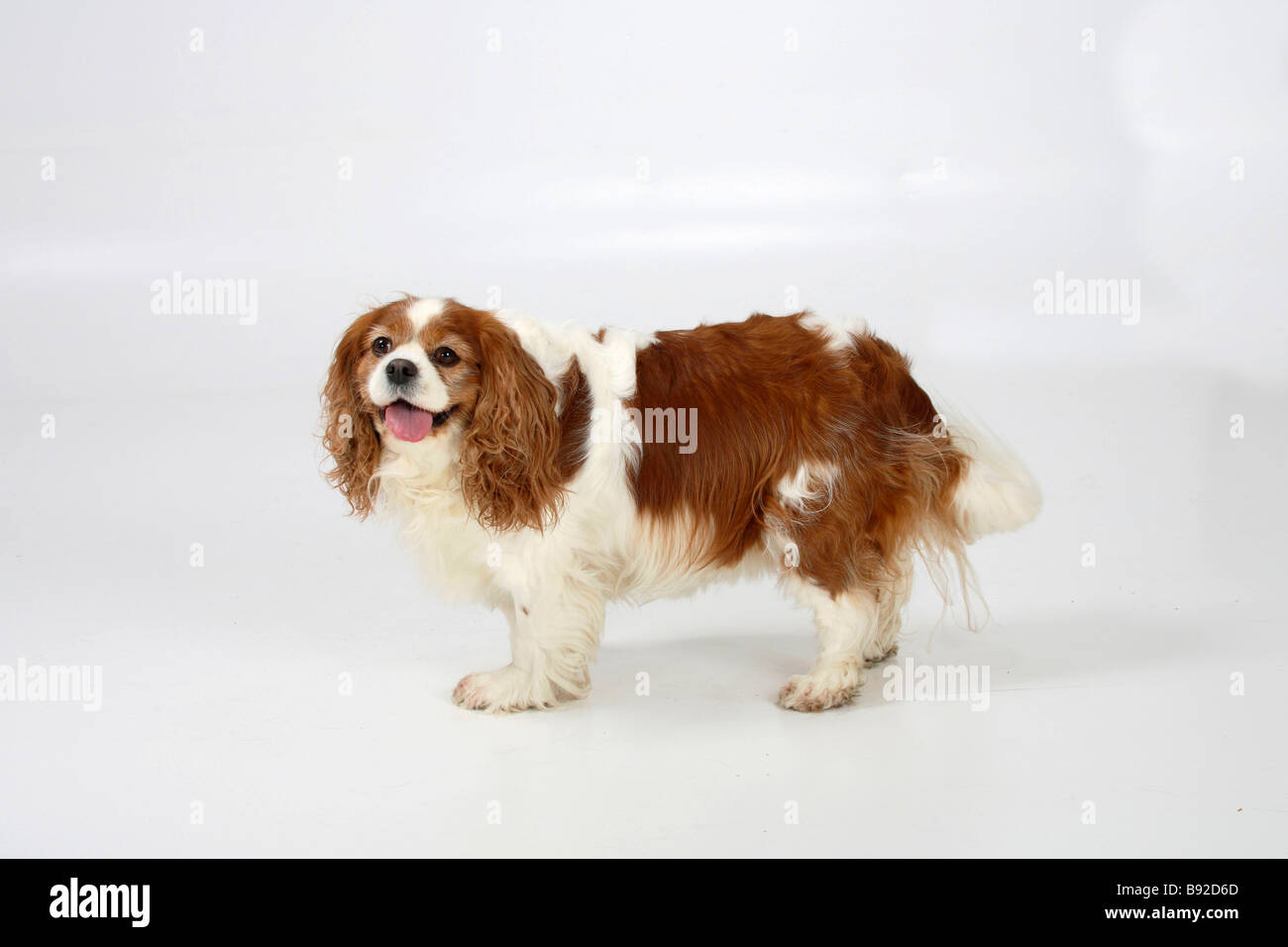 4 6 Year Male Cavalier King Charles Spaniel: Cavalier King Charles Spaniel Blenheim 7 Years Old