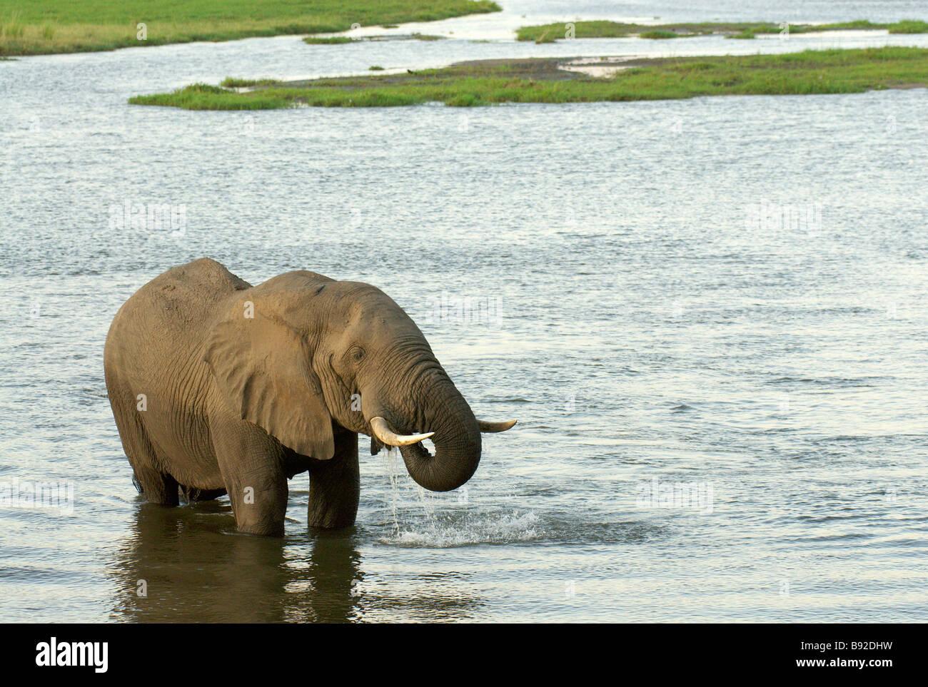 Large bull elephant stops mid river to quench his thirst while Mana Pools National Park Masonaland North Zimbabwe - Stock Image