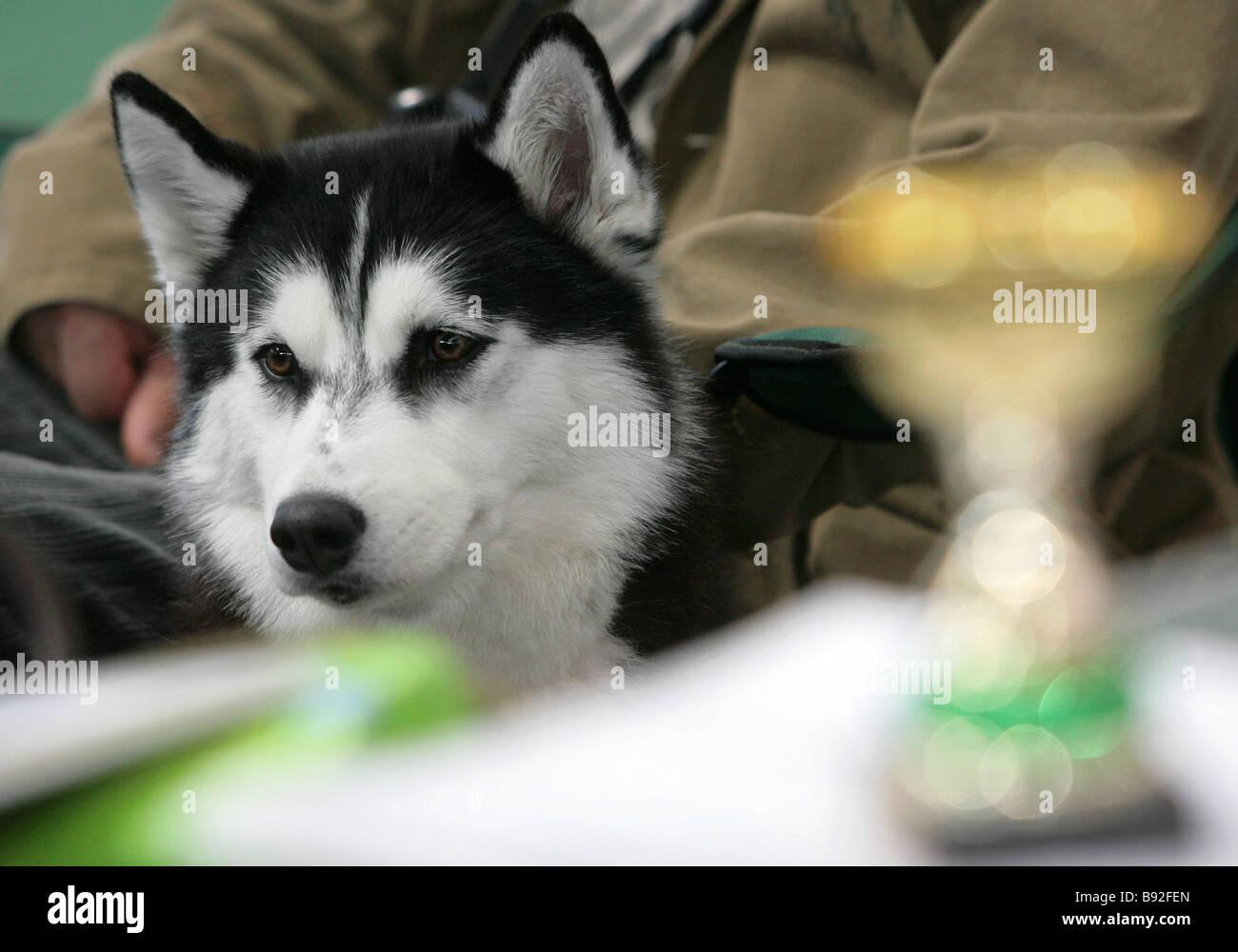 Siberian Husky Dog Dog Show Stock Photos & Siberian Husky Dog Dog ...