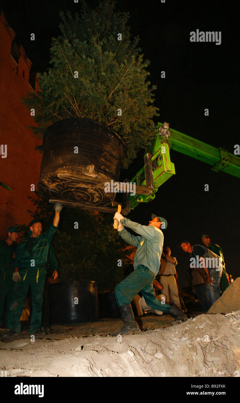 Work starting to replace famous blue spruces at the Kremlin wall It is scheduled to plant 73 new trees - Stock Image