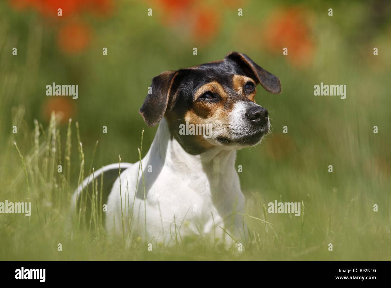 Danish Swedish Farmdog - standing on meadow Stock Photo
