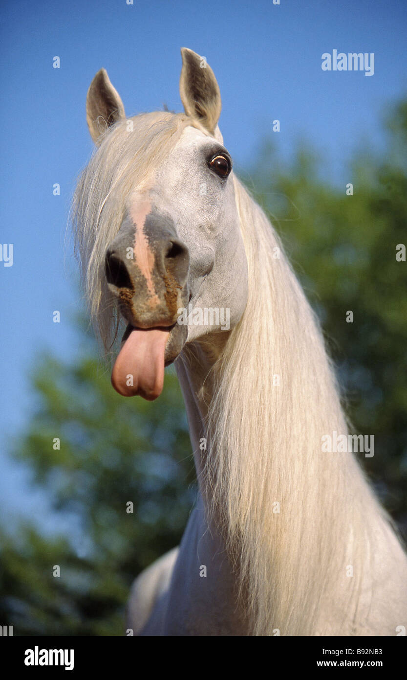 Lusitano horse. Gray adult sticking out its tongue, portrait - Stock Image